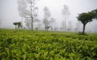 čajové platáže